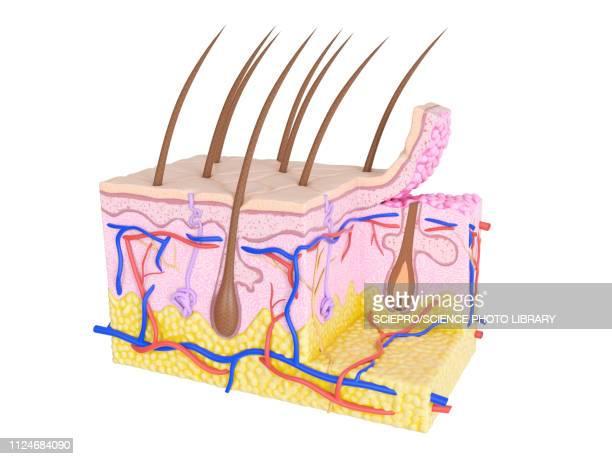 illustration of skin cross-section - human gland stock illustrations