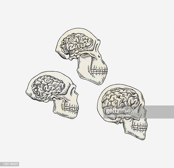 Illustration of skulls of Australopithecus, Homo erectus and Homo sapiens