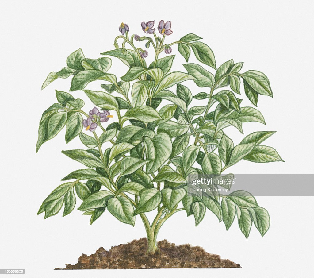 Illustration Of Solanum Tuberosum Bearing Purple Flowers With Yellow