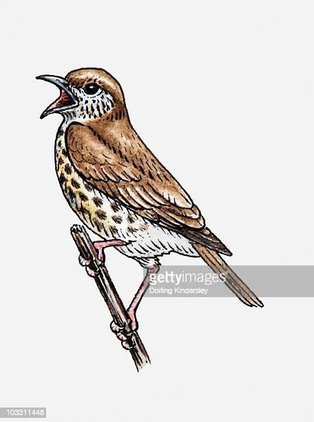 ilustrações de stock, clip art, desenhos animados e ícones de illustration of song thrush (turdus philomelos) singing on twig - canto de passarinho
