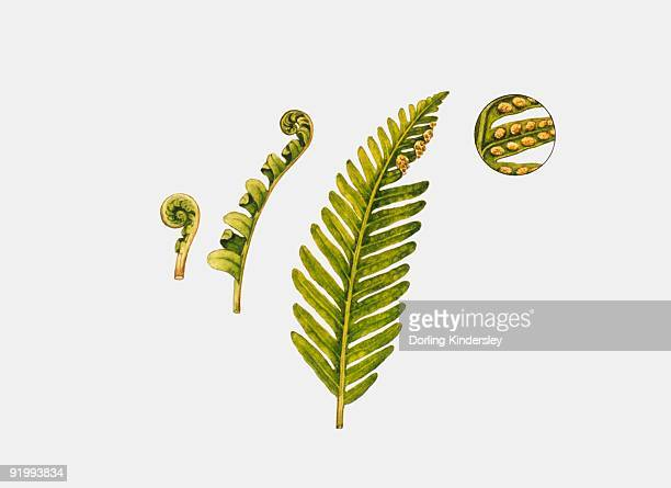 illustration of sori and fronds of polypodium fern - spore stock illustrations