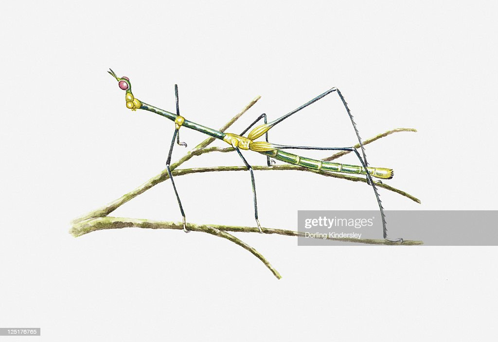 Illustration Of South American Grasshopper Resembling A Stick Insect