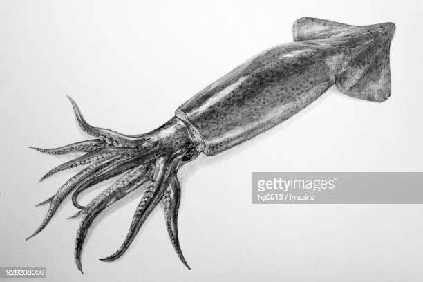 Illustration of Squid