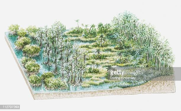 illustration of swamp flora containing taxodium distichum (stunted bald cypress), sawgrass and mangroves - bald cypress tree stock illustrations