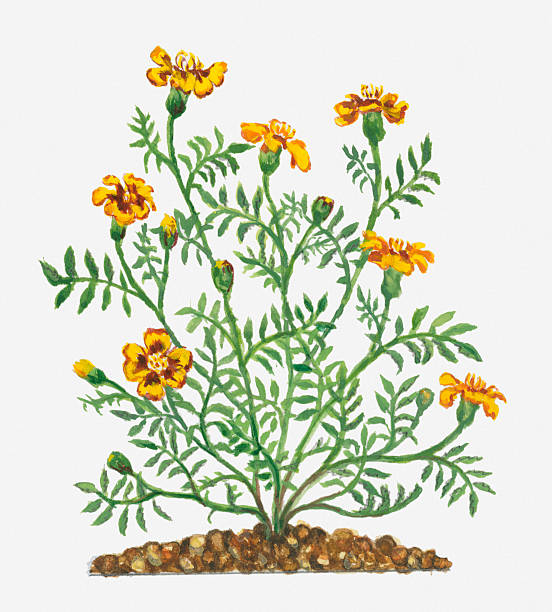 Illustration Of Tagetes Patula (French Marigold) Bearing Vibrant Yellow Flowers And Buds With Green Leaves On Long Stems Wall Art