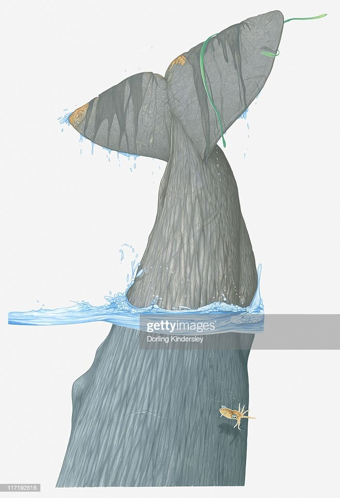 Illustration of tail fin of Sperm Whale (Physeter macrocephalus) as it dives in water : Ilustración de stock