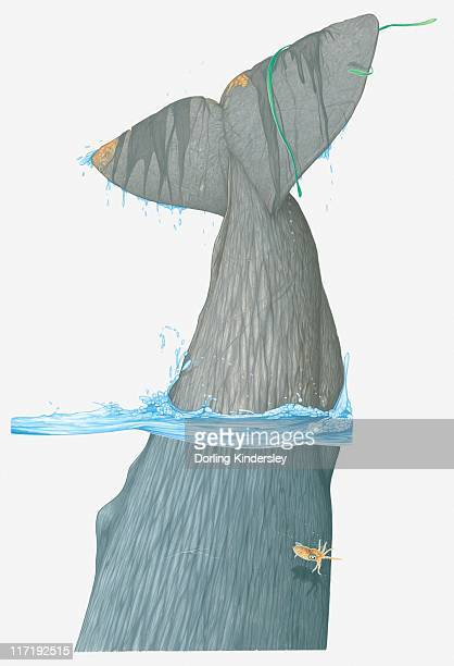 ilustraciones, imágenes clip art, dibujos animados e iconos de stock de illustration of tail fin of sperm whale (physeter macrocephalus) as it dives in water - diving flipper