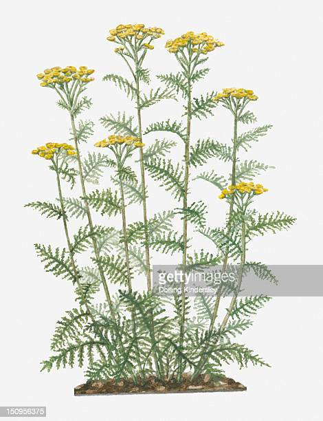 illustration of tanacetum vulgare (common tansy) bearing yellow button-like flowers on tall stems with pinnately lobed green leaves below - tansy stock illustrations