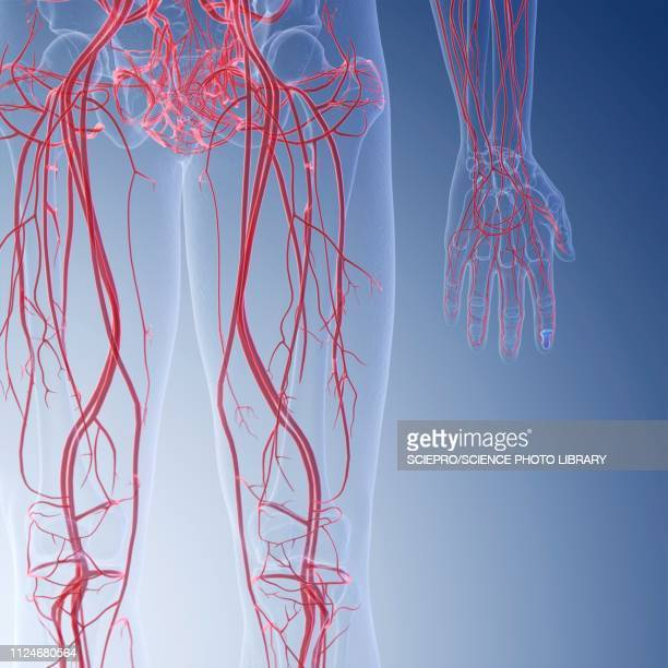illustration of the blood verticalessels of the legs - blood vessel stock illustrations, clip art, cartoons, & icons