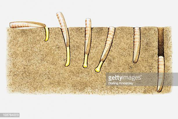 Illustration of the burrowing technique of a Razor clam (Ensis sp.)