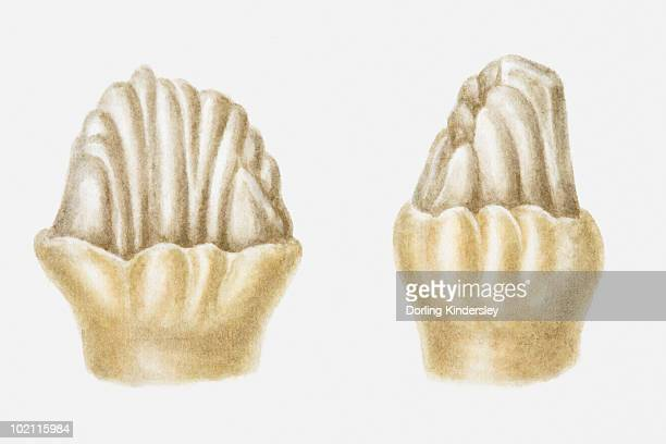 illustration of the cheek teeth of a stegosaurus, jurassic period - thyreophora stock illustrations, clip art, cartoons, & icons