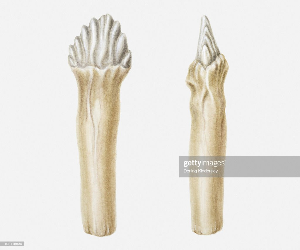 Illustration of the cheek teeth of an Edmontonia dinosaur, Cretaceous period : Stock Illustration