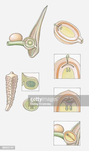 Illustration of the fertilisation of a Cycad (Gymnosperm), showing female cone, male cone, sporangium of male cone, pollen grain, ovule before fertilization, ovule trapping pollen, fertilization occurring, seeds ripening and ready to be released