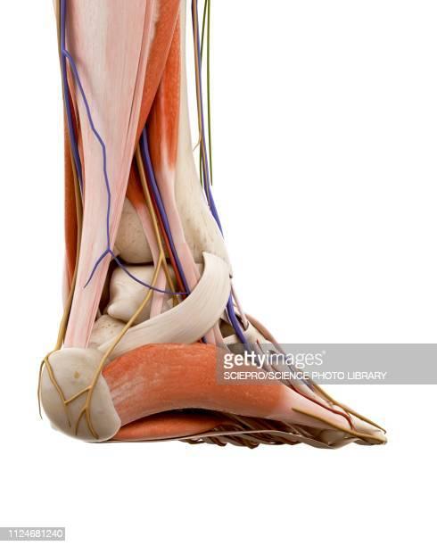 Illustration of the human foot anatomy