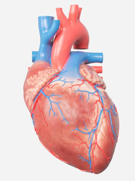 illustration of the human heart anatomy - human body part stock illustrations