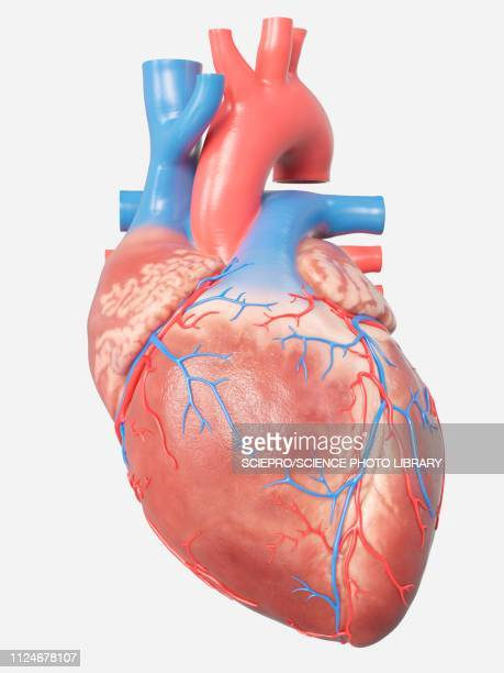 illustration of the human heart anatomy - human body part stock illustrations, clip art, cartoons, & icons