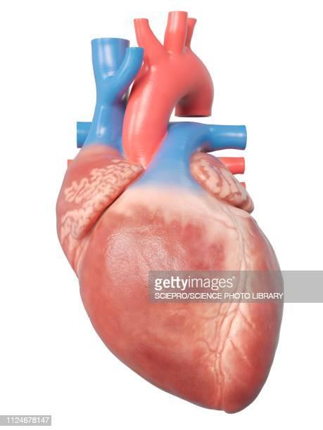illustration of the human heart anatomy - human heart stock illustrations