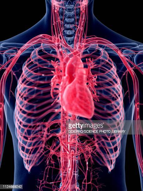 illustration of the human heart - blood flow stock illustrations