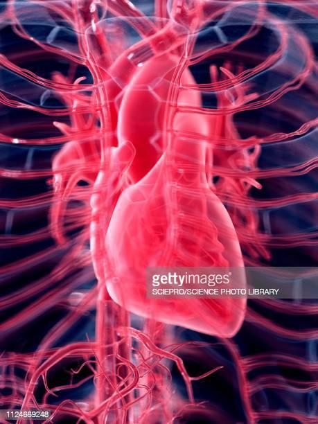 ilustraciones, imágenes clip art, dibujos animados e iconos de stock de illustration of the human heart - cardiólogo