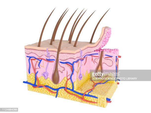 illustration of the human skin - human gland stock illustrations