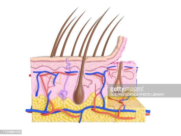 illustration of the human skin - sensory perception stock illustrations