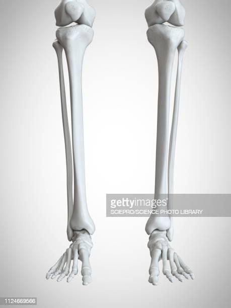 ilustraciones, imágenes clip art, dibujos animados e iconos de stock de illustration of the lower leg and foot bones - hueso de la pierna