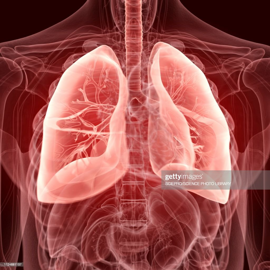 Illustration of the lungs : Stock Illustration