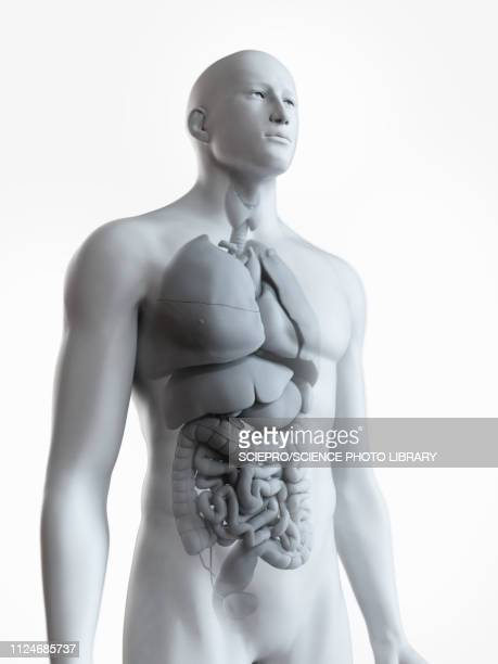 illustration of the male organs - digestive system stock illustrations