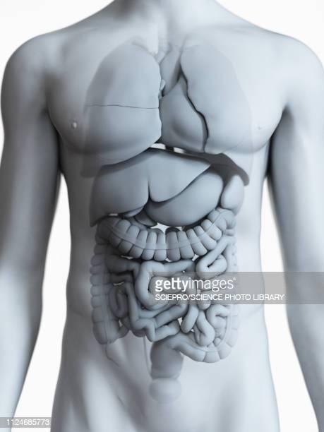 illustrations, cliparts, dessins animés et icônes de illustration of the male organs - coeur organe interne