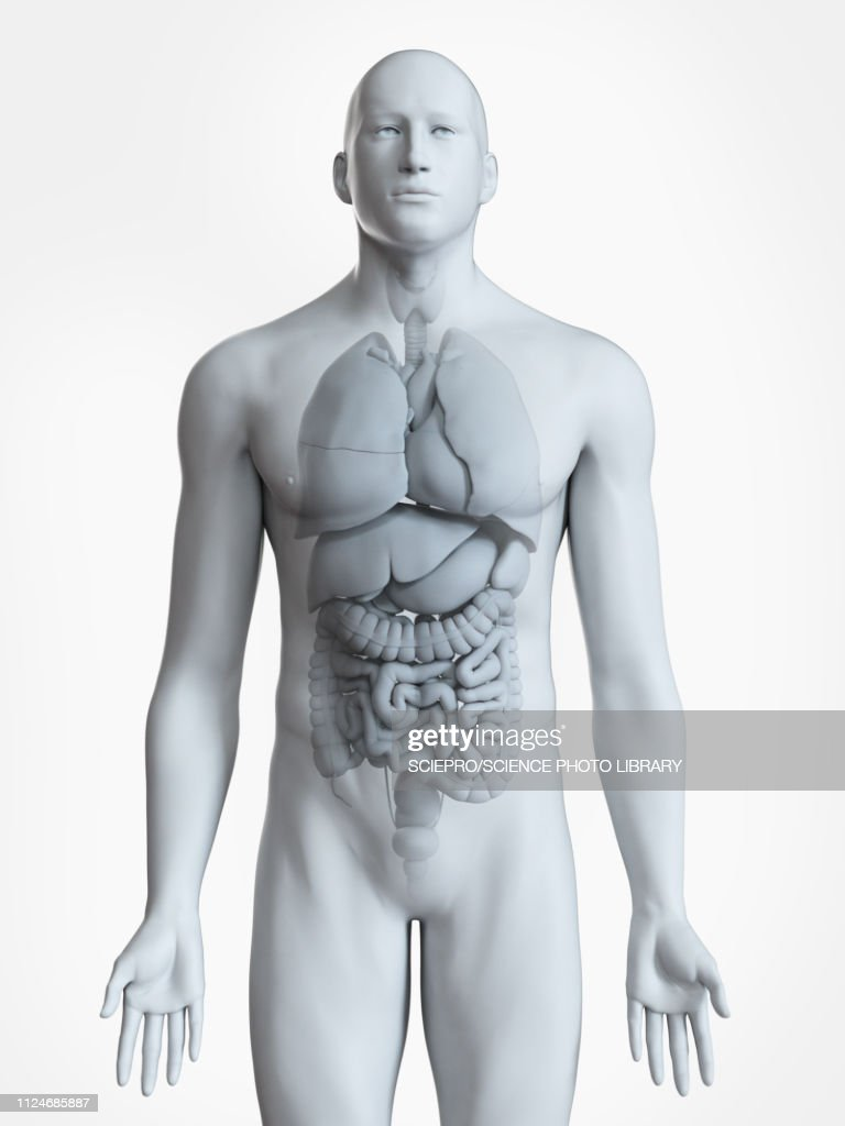 Illustration of the male organs : Stock Illustration