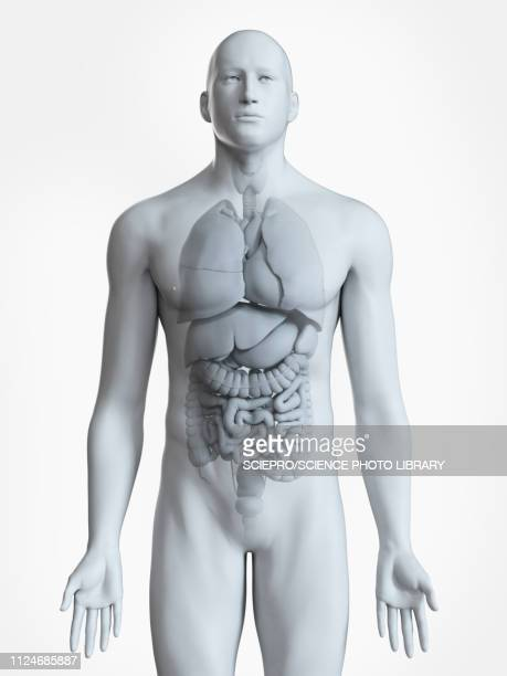 illustration of the male organs - human intestine stock illustrations
