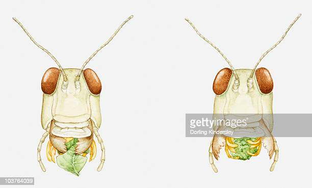 Illustration of the mouthparts of a locust eating a leaf, multiple image
