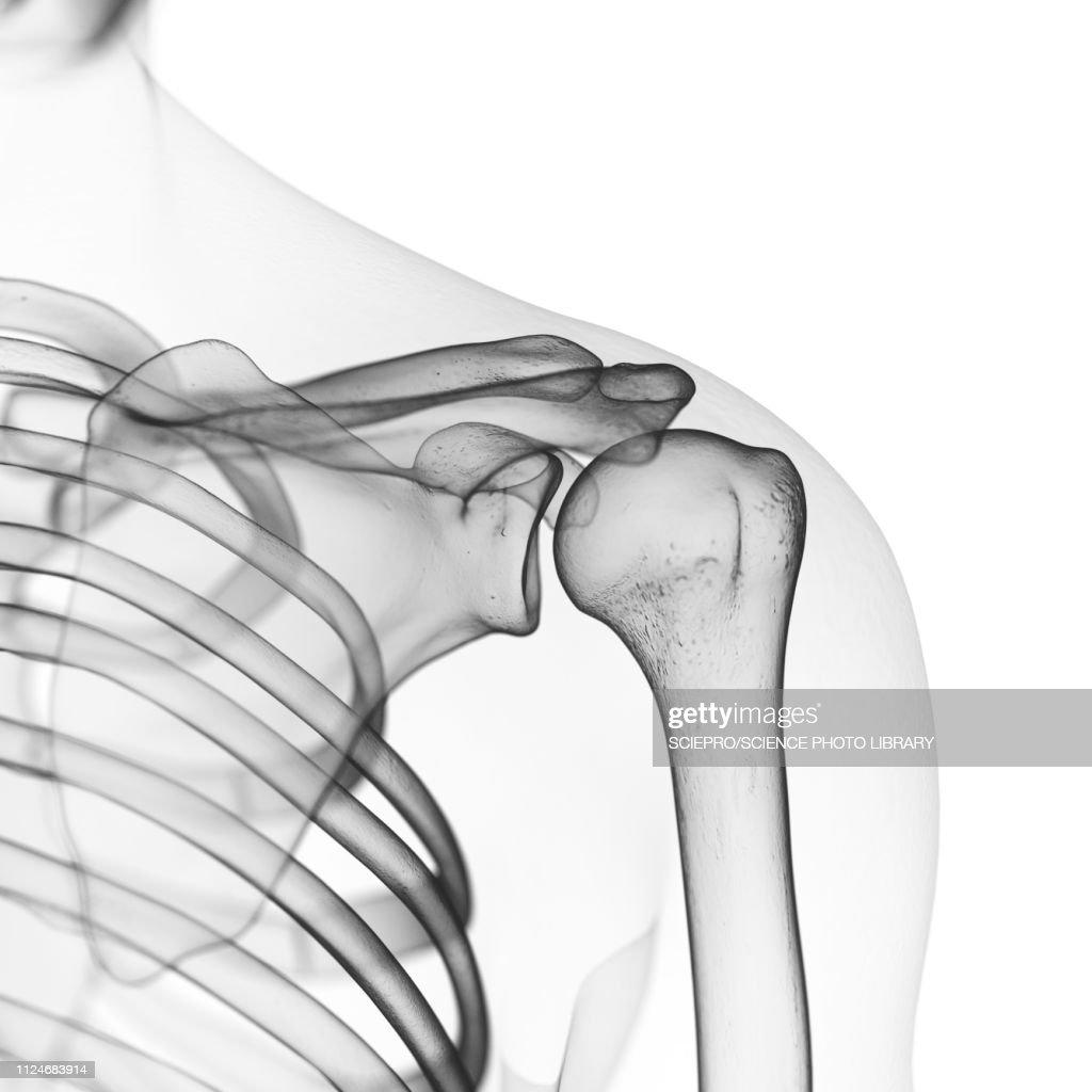 Illustration Of The Shoulder Bones Stock Illustration Getty Images