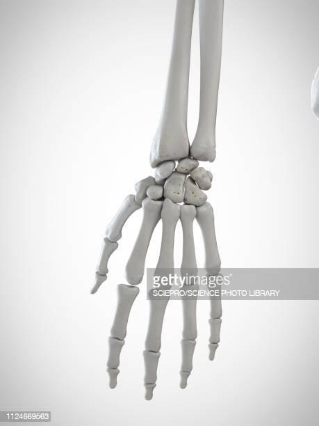 illustration of the skeletal hand - wrist stock illustrations, clip art, cartoons, & icons