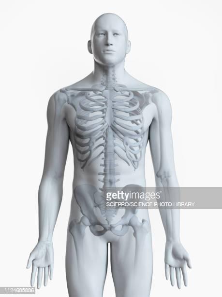 illustration of the skeleton - the human body stock illustrations