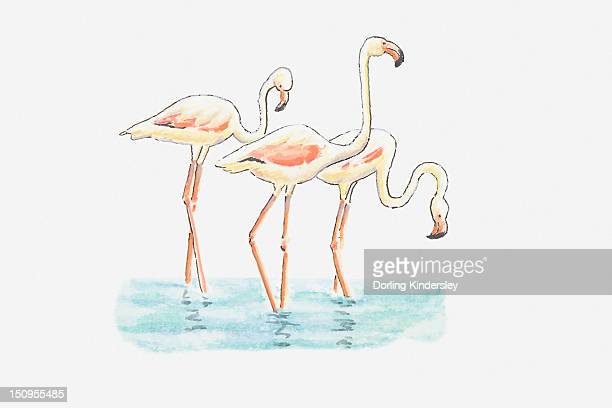illustration of three greater flamingo (phoenicopterus roseus) standing in water - flamingo stock illustrations, clip art, cartoons, & icons