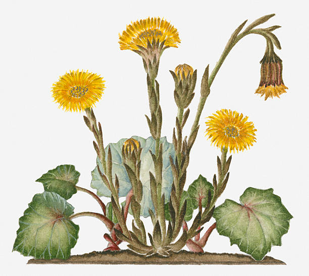 Illustration Of Tussilago Farfara (Coltsfoot) Bearing Yellow Flowers Resembling Dandelions And Buds On Stems With Leaves At Base Wall Art