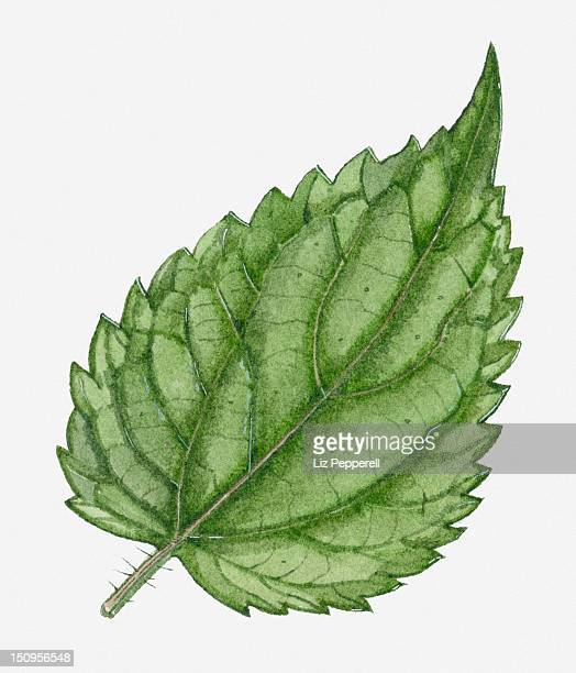illustration of urtica dioica (stinging nettle) leaf showing stinging hairs (trichomes) on stem - serrated stock illustrations, clip art, cartoons, & icons