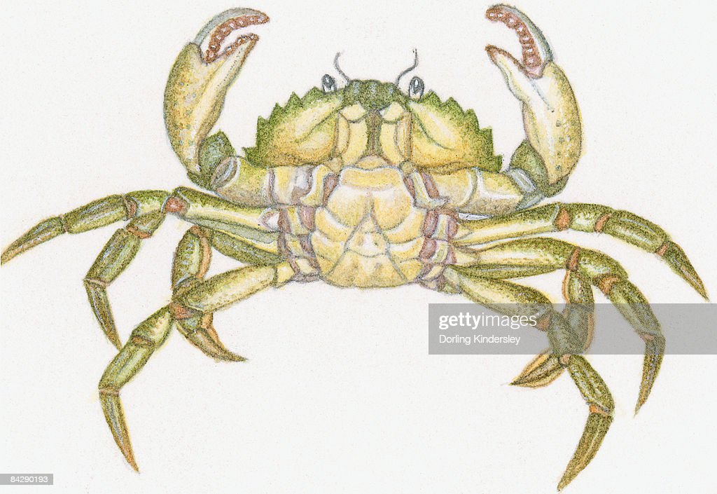 Male Crab Anatomy - The Best Crab 2018