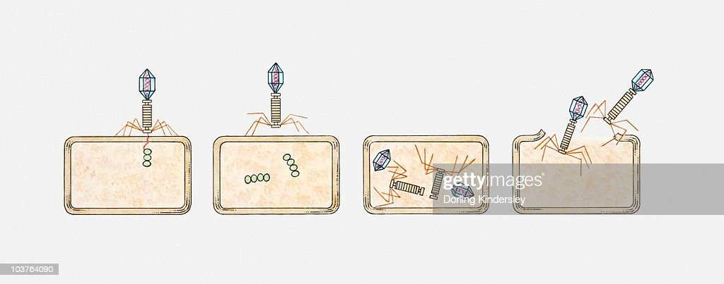Illustration of virus invading a bacterium and injecting nucleic acid, new viruses forming inside bacterium and breaking free : stock illustration