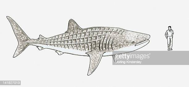 illustration of whale shark (rhincodon typus) and a man stood next to it to show scale - ジンベエザメ点のイラスト素材/クリップアート素材/マンガ素材/アイコン素材