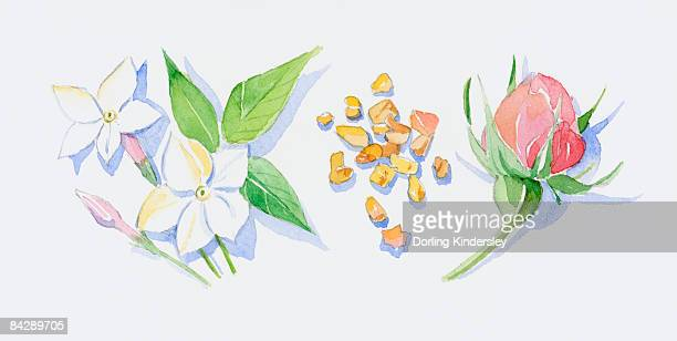 Illustration of white neroli flowers, pink bud and green leaves on stems, sandalwood wood chips, and pink rose bud on stem with sepals