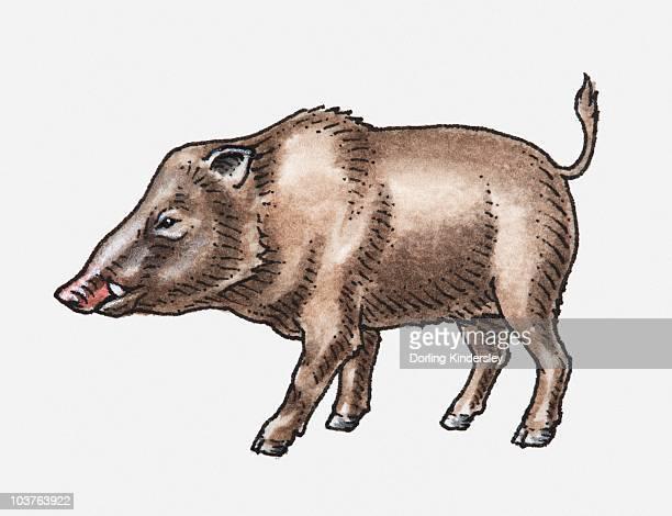 Illustration of Wild Boar (Sus scrofa), standing, head in profile