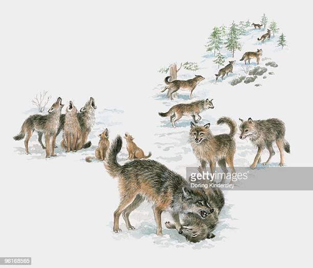 ilustrações de stock, clip art, desenhos animados e ícones de illustration of wolf pack - lobo