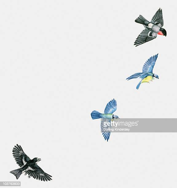 illustration of woodland birds including pied flycatcher (ficedula hypoleuca) and blue tits (cyanistes caeruleus) and red-breasted blackbird (sturnella militaris) in flight - spread wings stock illustrations