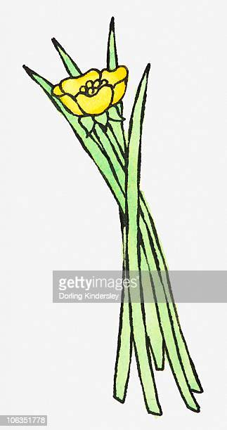 Illustration of yellow buttercup and blades of green grass