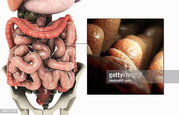 illustration showing a conceptual visualization of the villi of the small intestine. - mucus stock illustrations, clip art, cartoons, & icons