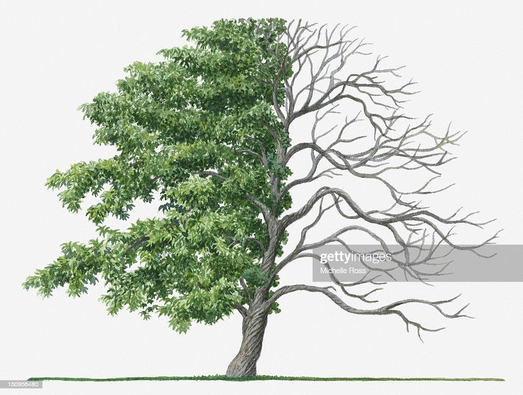 Illustration Showing Shape Of Deciduous Acer Palmatum Tree With