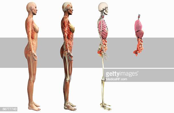 Anterior Illustration Showing The Male And Female Digestive And ...
