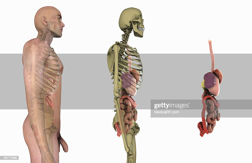Illustration Showing The Digestive Tract Within A Male Body Skeleton ...